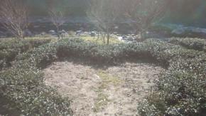 池川茶 茶畑