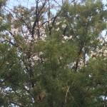 御神木 杉桜